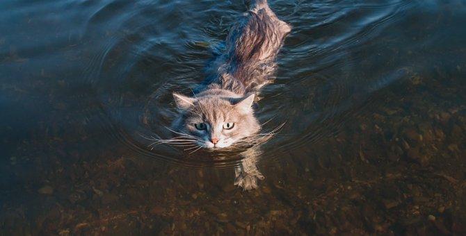 猫は泳ぐ事ができる?水が好きな種類