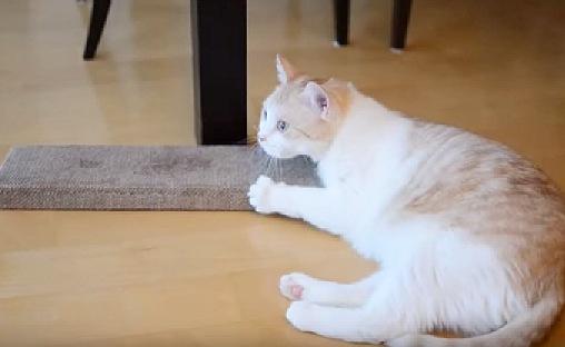 またたびボードに想像以上のハイテンションで盛り上がる猫ちゃん!