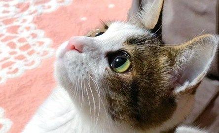 猫の目の色が違うのはなぜ?考えられる5つの理由