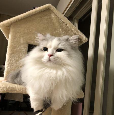 体が大きい猫の種類4選