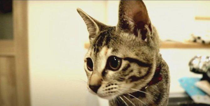 クリッカーで初めてのトレーニングをする猫ちゃん!