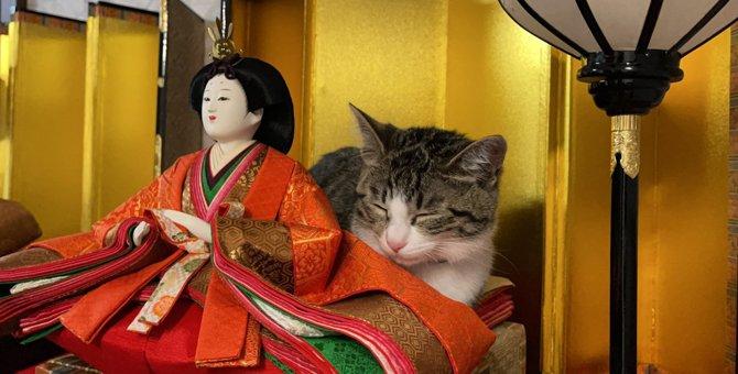 『こちらひな壇…お猫さまに占拠されています...』ひにゃ壇で寛いでる猫が話題♡