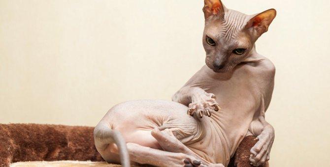 猫のバンビーノの特徴や飼う上での注意点