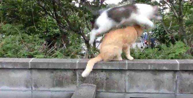 太っていても運動神経は抜群な猫!
