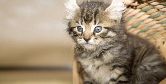 アメリカンカールのブログ12選!かわいい子猫や立ち耳の画像も