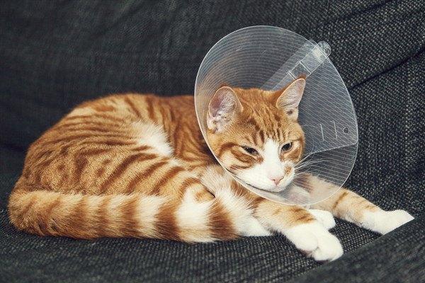 猫が去勢後つけるエリザベスカラー 着ける意味や懸念点、外す時期