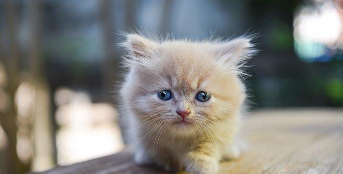 足の短い猫の種類6選!飼い方や性格