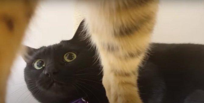 猫部屋に戻りたい!リビングでボス猫さんと過ごした黒猫さん!