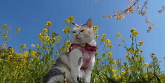 のんびり春を満喫♡菜の花畑を散策する猫ちゃん