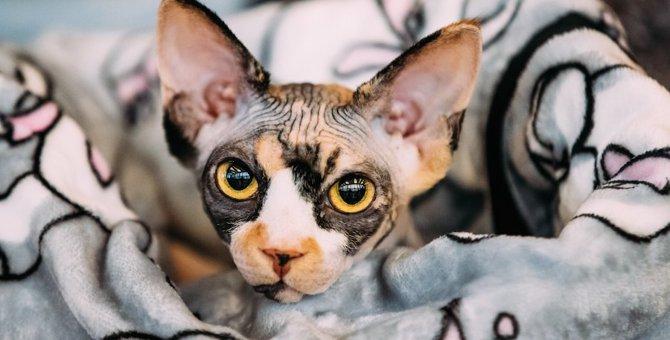 猫のスフィンクス、大きさはどれくらい?見た目の特徴や飼いやすさなど