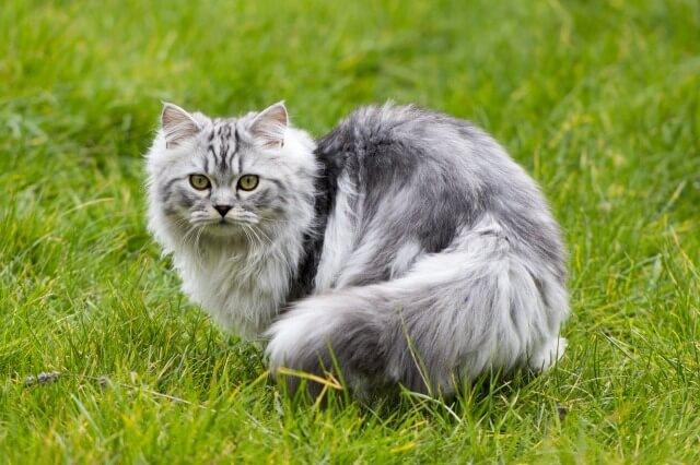 ペルシャ猫をブリーダーから迎え入れる方法と注意点