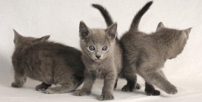 ロシアンブルーの多頭飼いは大丈夫?相性がいい猫の種類など
