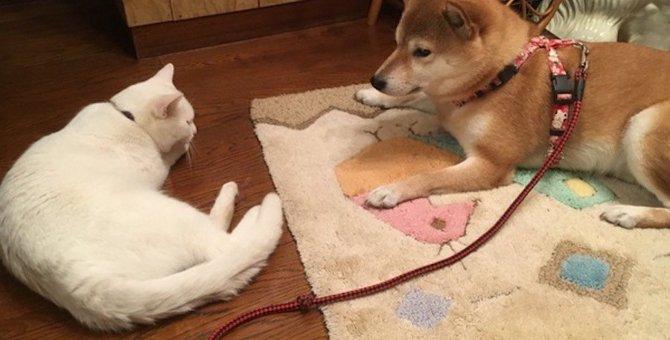猫と柴犬は一緒に飼える?飼うときの注意点やコツ