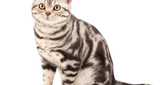 アメリカンショートヘアってどんな猫?性格や価格、飼い方など