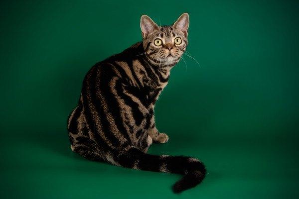 アメリカンショートヘアのブラウンタビーはどんな猫?性格や特徴も!