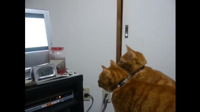 猫だってDVDが観たいんです!テレビに釘付けな2匹♪