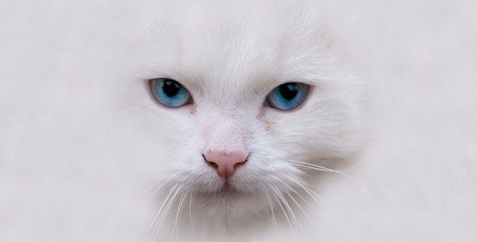 白猫の性格は神経質で甘えん坊!毛色との関係やオスとメスの違い