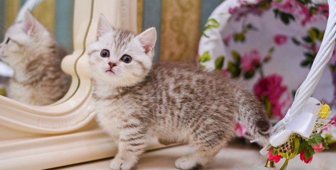 マンチカンってどんな猫?特徴や性格、お迎えする時の費用について