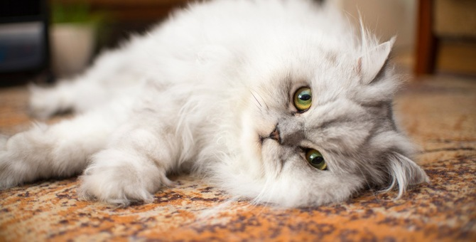 ペルシャ猫の性格や特徴、オスメスの違いについて
