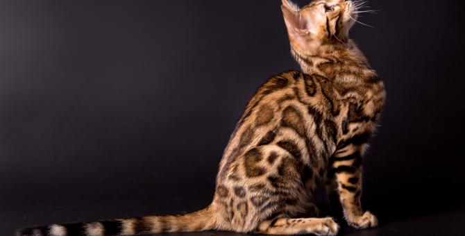 ベンガルの性格とは?4つの特徴を持つ魅力的な猫♪