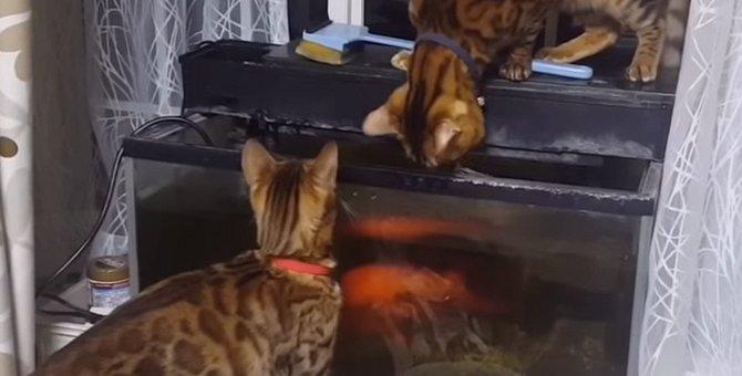 大きな金魚に挑むベンガル猫!