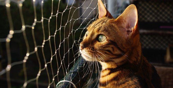 ベンガル猫の寿命はどのくらい?平均年齢や長生きしてもらうためにできること