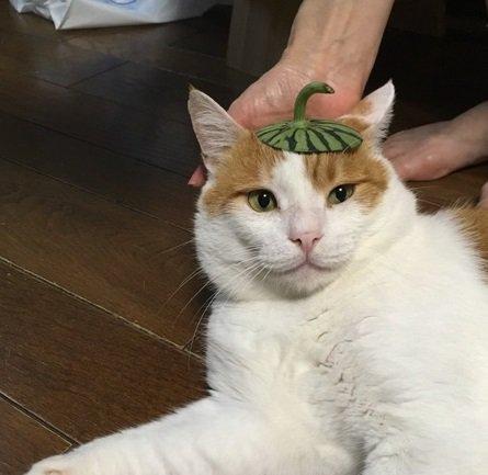 いろんなものを頭に乗せられる猫みーすけ。鬼の威を借りる