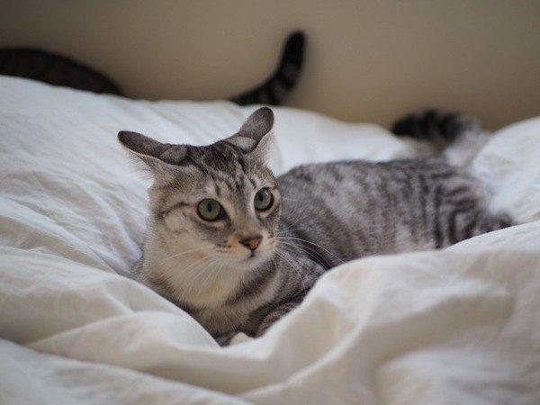 猫が「イカ耳」になる原因5つ