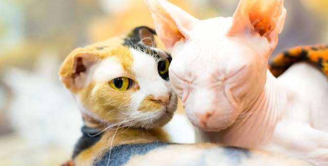 知ってる?ちょっと珍しい猫の種類9選