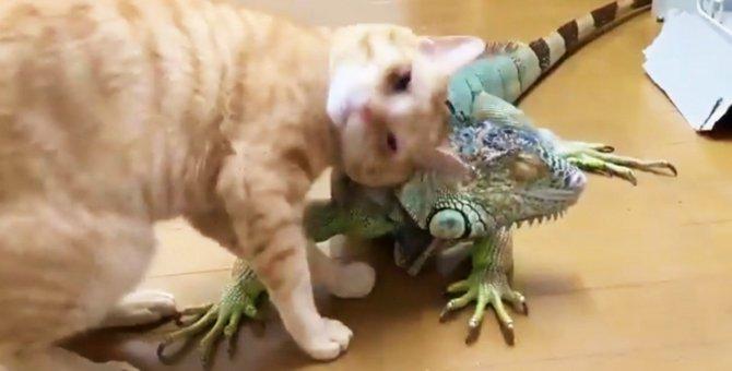 悶絶!種を越えてラブラブなイグアナと猫のコンビが可愛いと話題