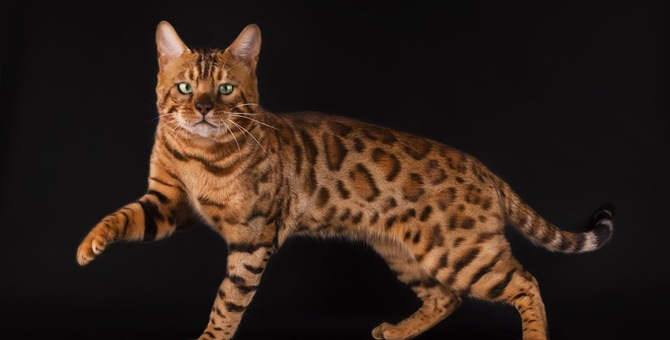 ベンガル猫の大きさについて