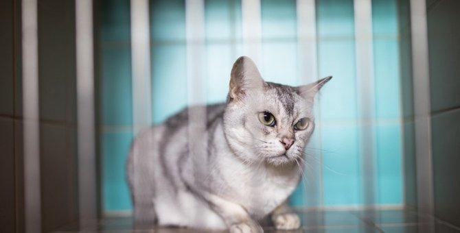 ペットショップで売れずに成長した猫はどうなるの?