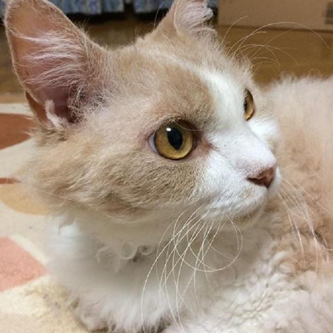 スクークムの魅力や特徴。短い足とカールした被毛がキュートな猫ちゃん!