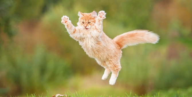 猫が着地した時に声が出る理由と降りられる高さ