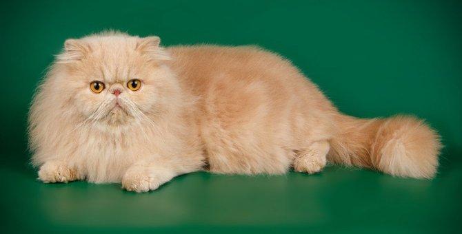 エキゾチックショートヘアってどんな猫?性格や特徴、ブームの理由など