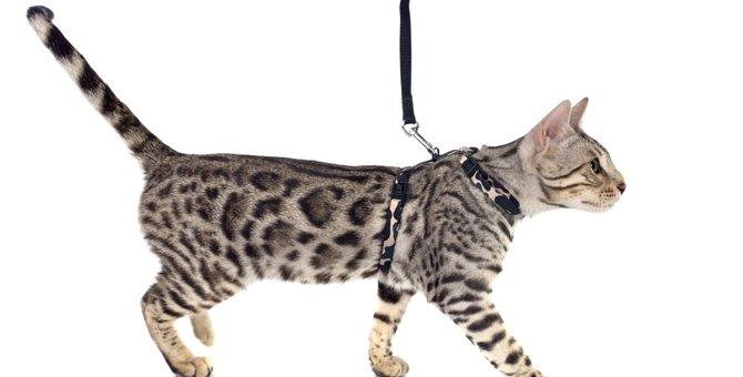 猫にハーネスを着ける必要性とトレーニング方法