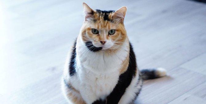 麗しや!まるで『振り袖』を着ているかのような三毛猫さんが大人気♡