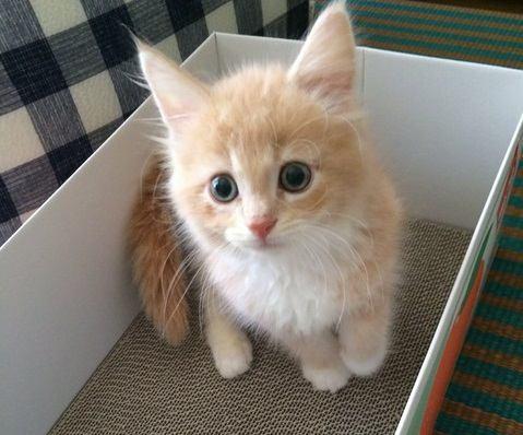 メインクーンの子猫の特徴や性格、お迎えする時の選び方