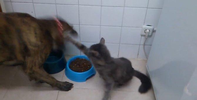 猫パンチ炸裂!犬の食事を許さない猫ちゃん