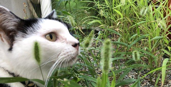 天然の猫じゃらし「エノコログサ」を育ててみた!