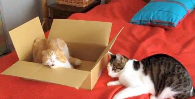 箱を譲ってほしい猫ちゃんと箱の中の猫ちゃん、壮絶な争奪戦!