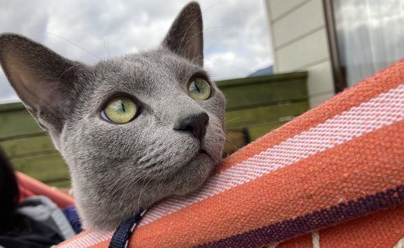 『瞳の色』が決まっている猫種5つ