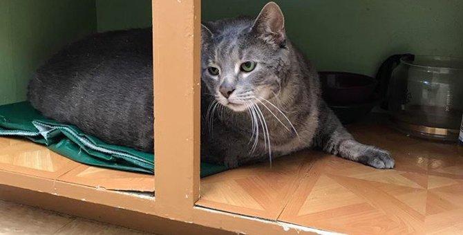 太りすぎた野良猫がアニマルシェルターに収容されて話題に!