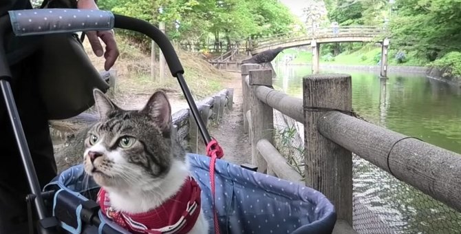 久々のお散歩に猫ちゃんもドキドキ♪大量の鯉と忍び寄る鳩!