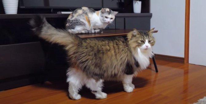 ついに意を決した猫ちゃん、大胆に大好きな姉猫ちゃんに近づく!!