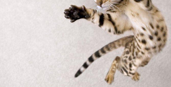 ジャンプする猫5連発!どれぐらい飛べる?どんな時に飛ぶ?