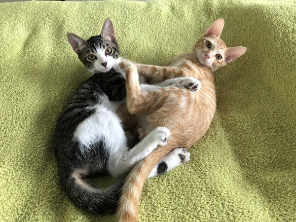 猫の『じゃれあい』と『喧嘩』の違い5つ!注意すべきポイントは?