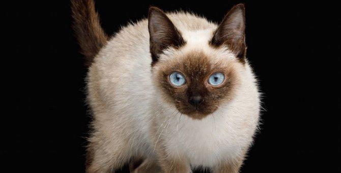 世界最小の猫「スキフトイボブテイル」性格や飼い方