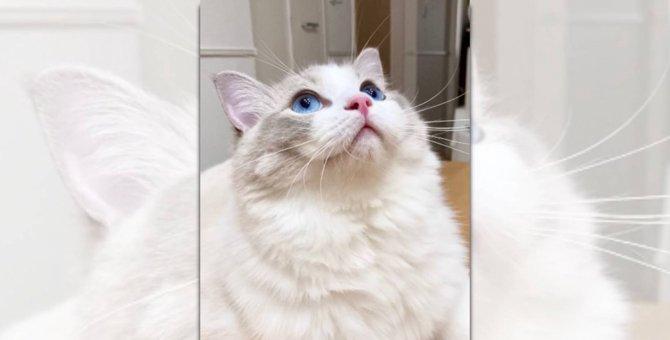 【眼福】もっちもちのフワフワ♡埋もれたい人続出の美猫さん