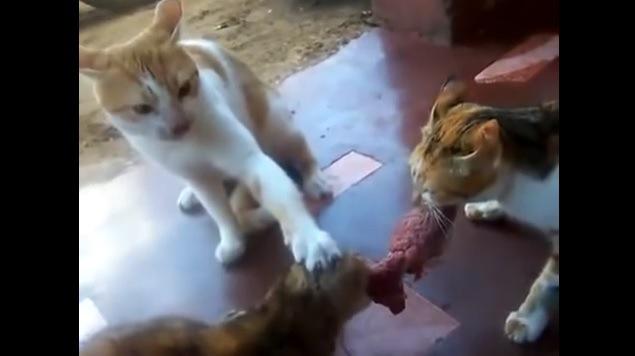 野性炸裂!1枚のお肉を巡る猫たちのバトル!